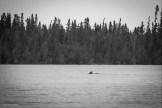 Caribou swimming at Squirrel