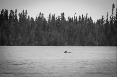 Caribou swimming at Squirrel