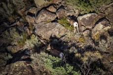 Big Horn Sheep (Females)