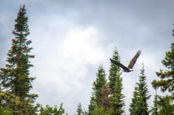 Bald Eagle, Lake Esnagami