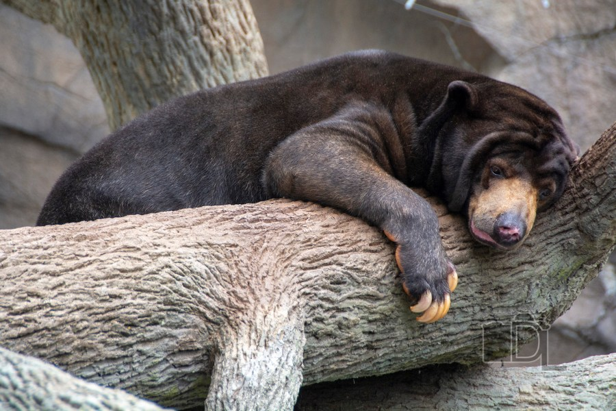 A Malayan sun bear chills as he awaits the passing of some clouds at Omaha's Henry Doorly Zoo.