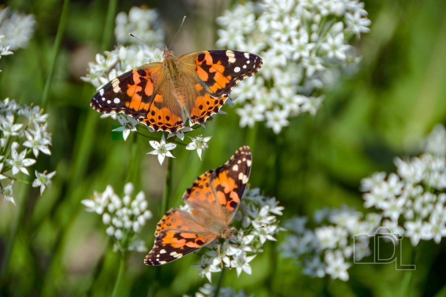 A pair of Monarch butterflies suck nectar from Some garlic chive plant blooms.