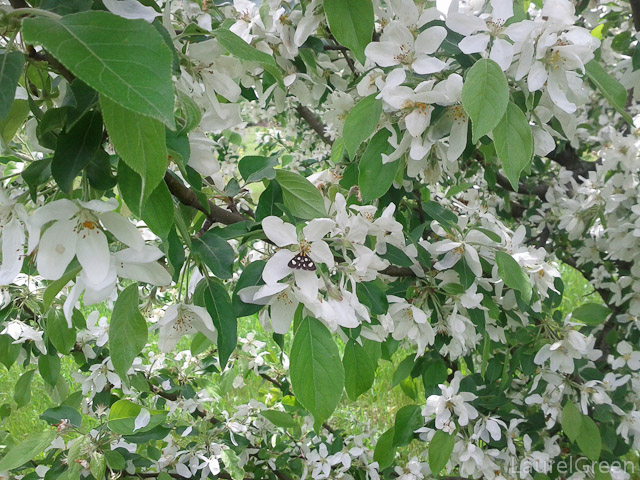 Apple Blossoms and a Moth