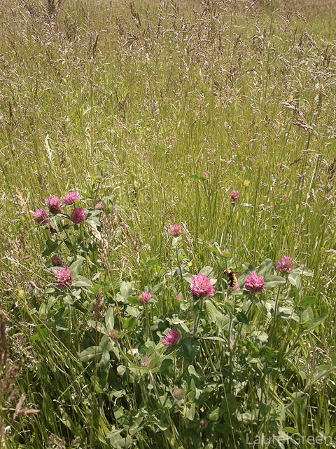 Red Clover and Bee