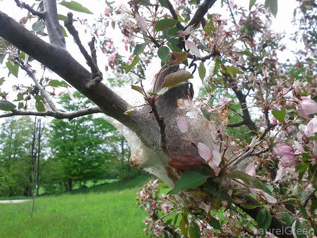 Tent Caterpillar Nest