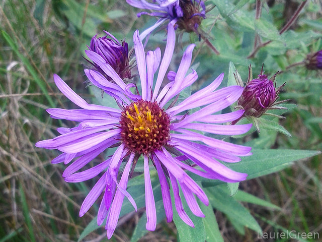 a photograph of a new england aster flower