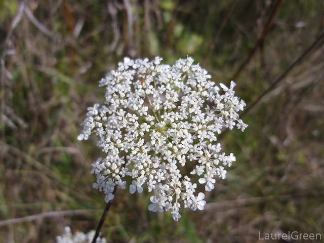 a photograph of some queen anne's lace