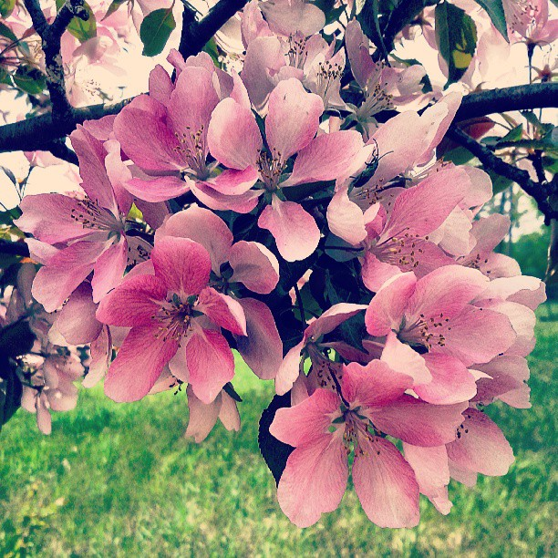 a photo of some pink crabapple blossoms, there is a beetle hidden amongst the petals