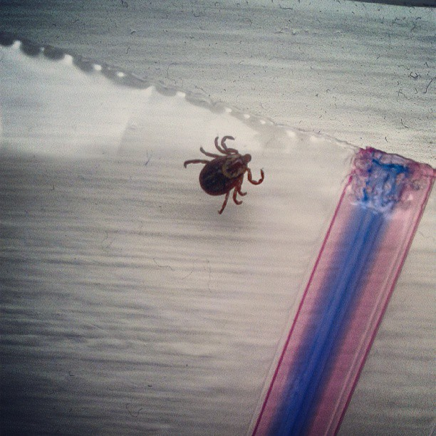 a photo of a tick in a ziploc baggy