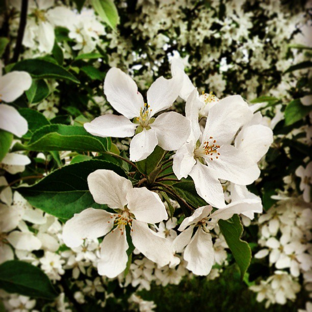 a photo of some white crabapple blossoms