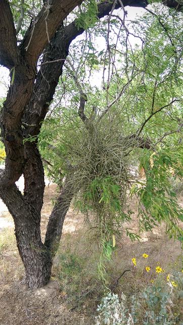 desert mistletoe growing on a velvet mesquite tree