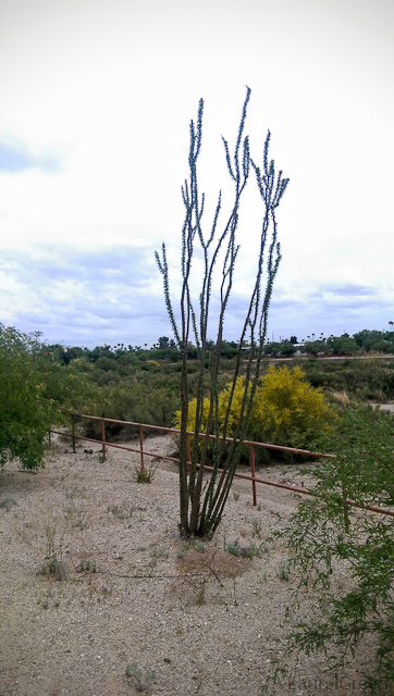 ocotillo plant without flowers