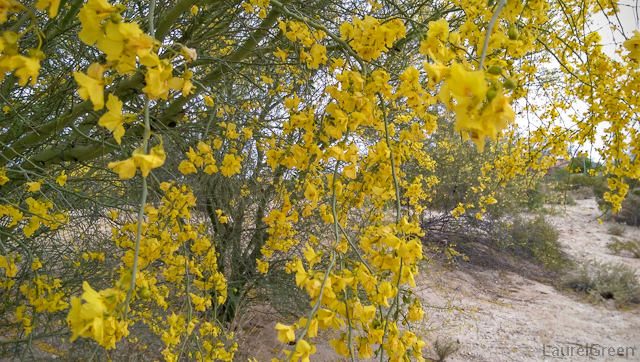 yellow palo verde flowers