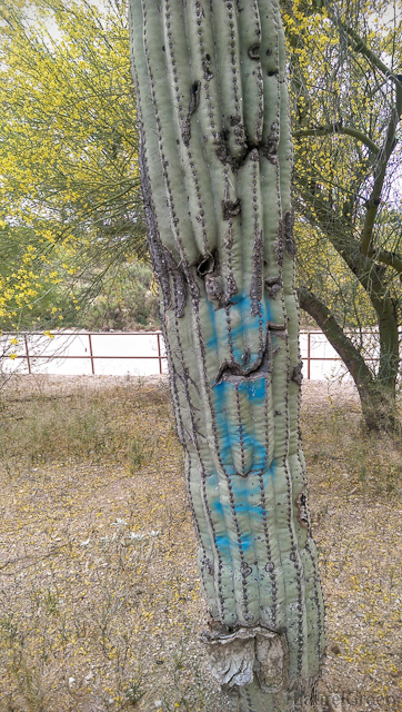 spray-painted graffiti on a saguaro