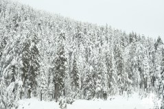 Snow covered trees at Cypress Mountain