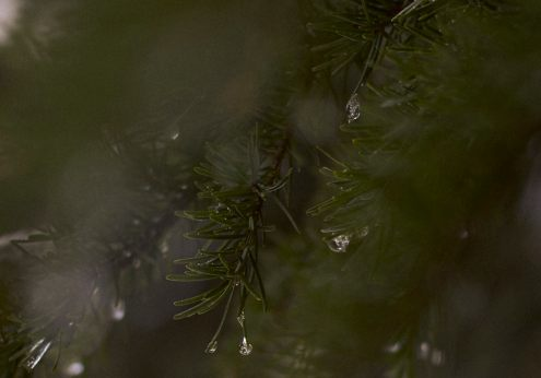 Image of frozen droplets of water hanging from the end of pine firs at Dog Mountain