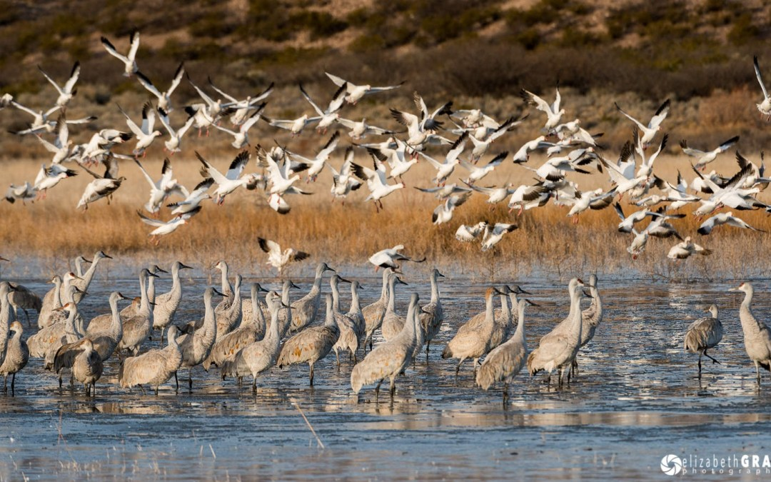 Bosque del Apache in Photographs