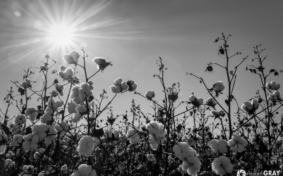 Mississippi Cotton Fields