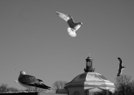 black and white sea gulls flying