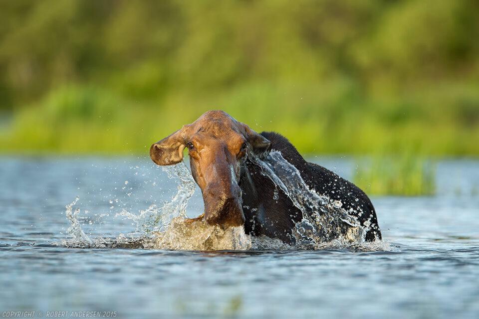 Cow Moose Feeding in Lake
