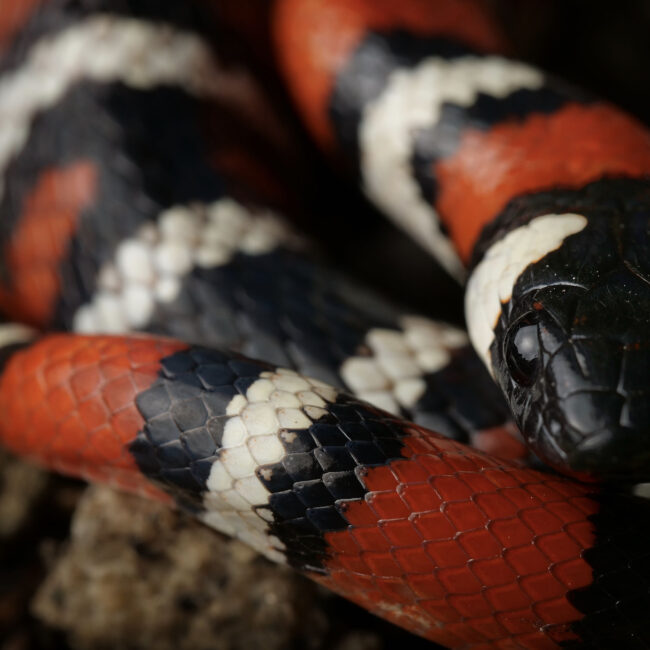 profile of california mountain kingsnake a macro shot of the face
