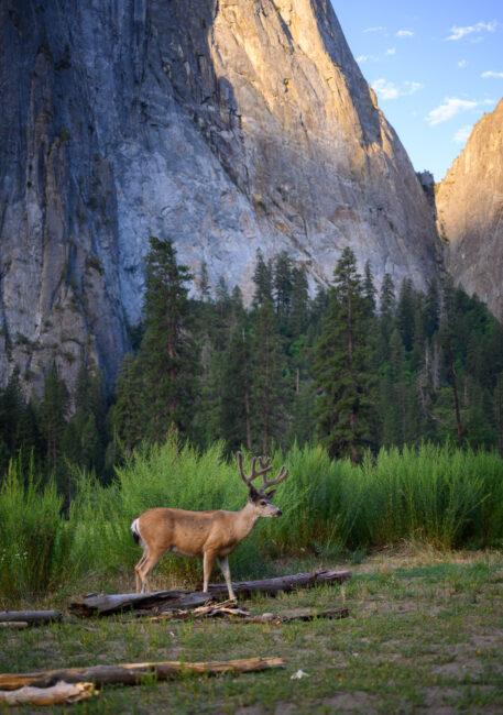 Deer in Yosemite Valley at Sunrise