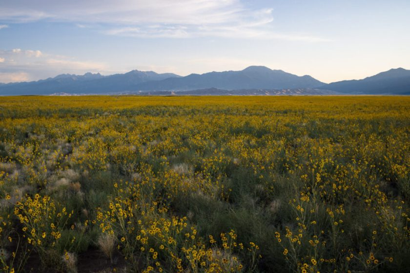 Yellow Flowers with a Distant Mountain