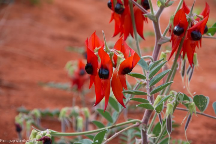 Alice Springs Desert Park - sturt pea2 (1 of 1)