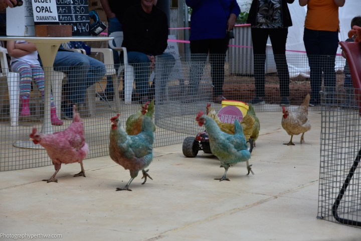 chickens racing (1 of 1)