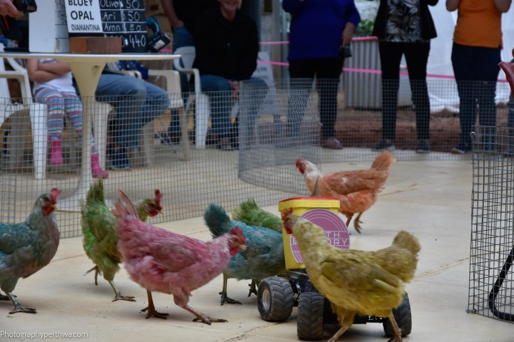 chickens racing2 (1 of 1)