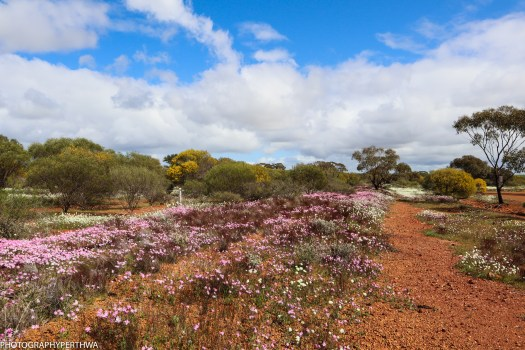 wildflowers outside Mullewa (1 of 1)