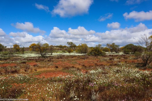 wildflowers outside Mullewa4 (1 of 1)