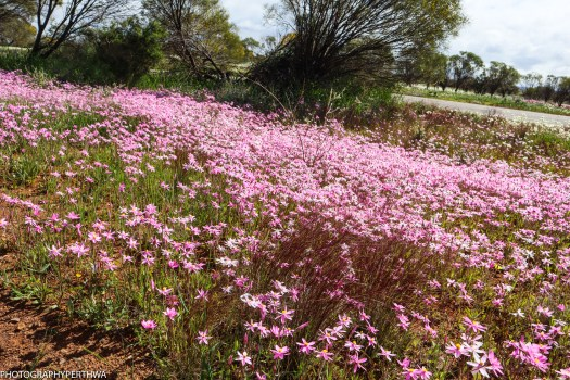 wildflowers outside Mullewa5 (1 of 1)