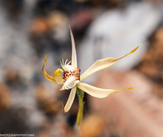 faded spider orchid2 (1 of 1)