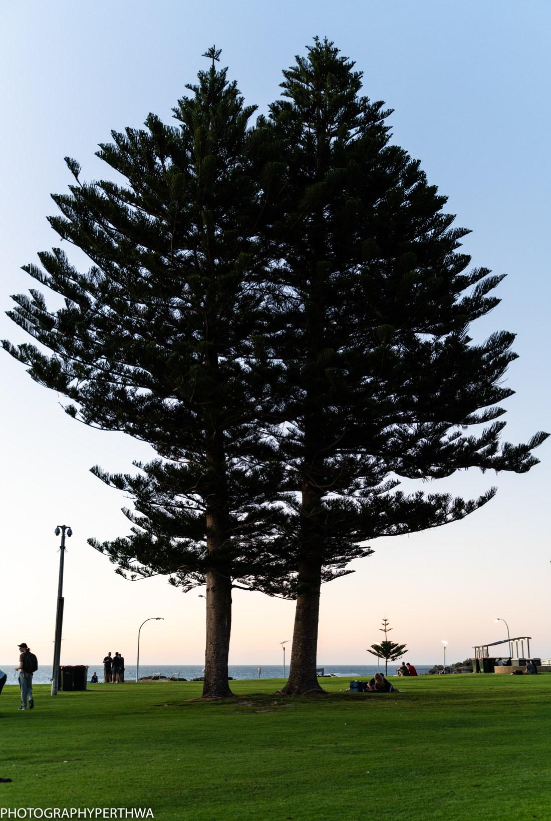 Mullaloo Beach twin trees (1 of 1)