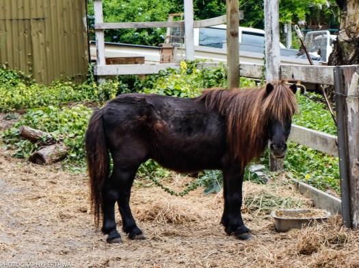 the pony (1 of 1)