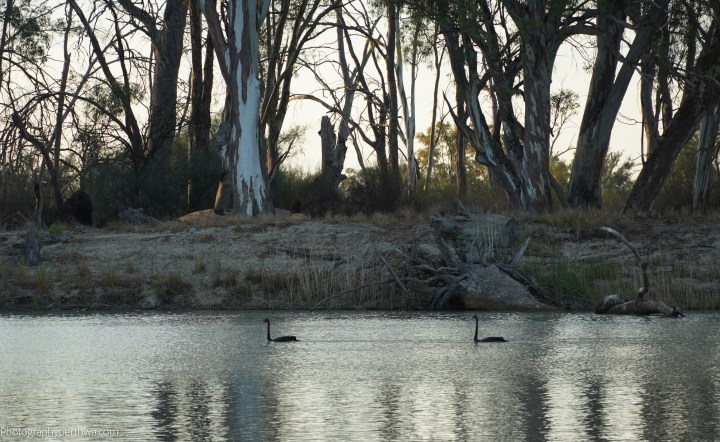 Plushs Bend swans (1 of 1).jpg