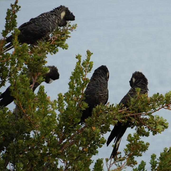black cockatoos - 1.jpeg
