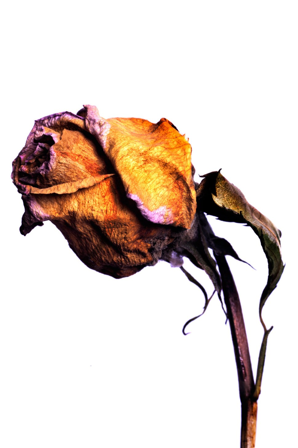 20150906_1733-yellow-rose-stem