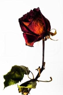 20150906_1753-red-rose_1