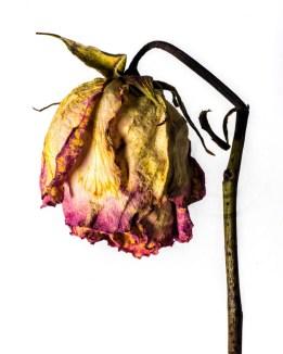 20150906_1766-purple-yellow-rose