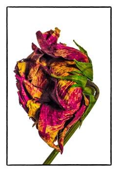Mash Rose