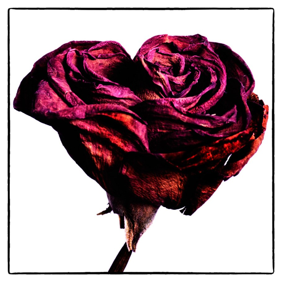 20150908_1827-dried-rose-red