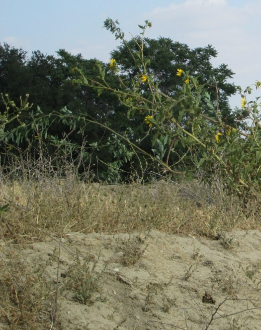 Sunflowers growing on the dirt mound.