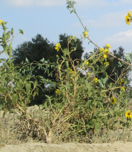 More sunflowers growing on the dirt mound.