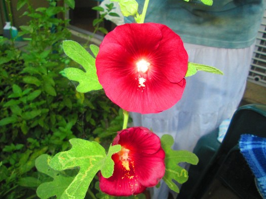 A red hollyhock flower is a simple flower, but I love these planted in my container garden.