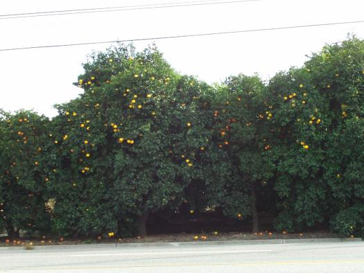 A photo of an orange field in Southern California.