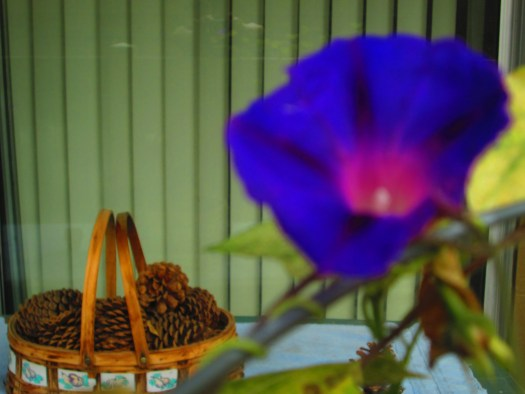 Morning Glory With Basket of Pine Cones