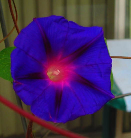 Morning Glory Has A Pinkish Center