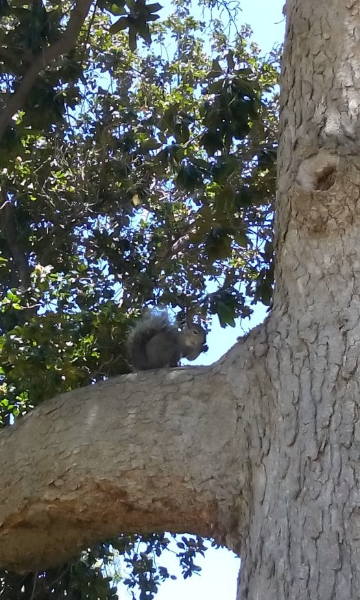 A beautiful little gre squirrel.